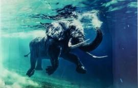 SWIMMING ELEPHANT Quadro in vetro 180X120